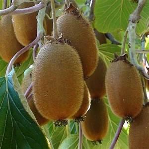 Tailler Les Kiwis : kiwi femelle 39 hayward 39 plantes et jardins ~ Farleysfitness.com Idées de Décoration