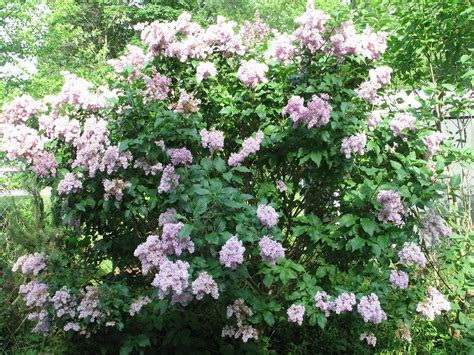 small lilac bush varieties sherry s place lilac bush in full bloom