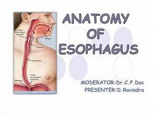 Anatomy Of Esophagus By Dr Ravindra Daggupati