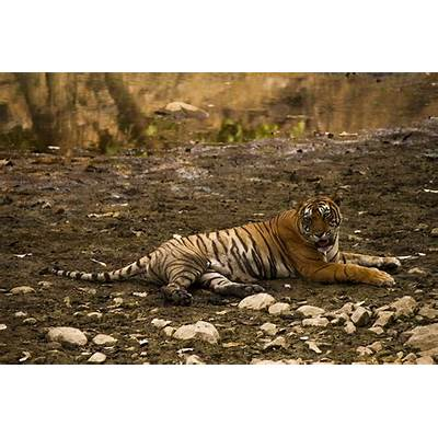Image of Tigers in Ranthambore National park Rajasthan