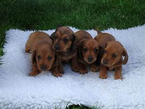 Miniature Smooth Haired Red Dachshund Puppies | Margate ...