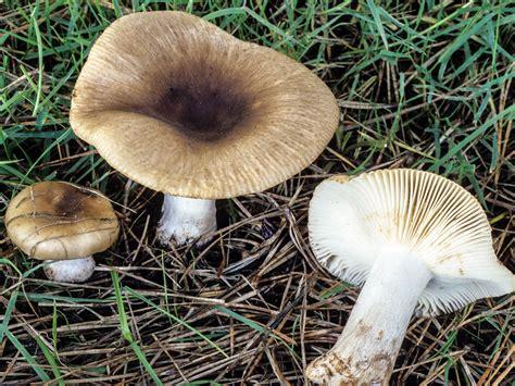 Russula cerolens Shaffer -- Discover Life