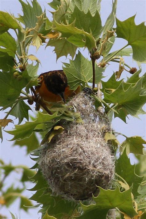 baltimore oriole nest birding pictures