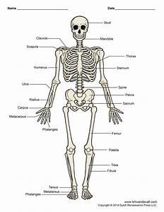 Quiz & Worksheet The Skeletal System   Study.com Photo ...