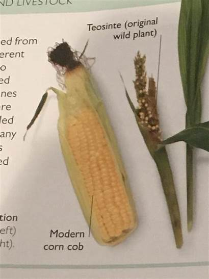Corn Before Between Difference Domesticated