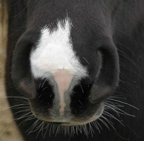 horse nose whiskers noses animal muzzle hairs equine animals why eyes snip wikimedia planum nasale body language gutter