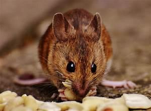 Maus In Wohnung : m use fangen und vertreiben ~ Markanthonyermac.com Haus und Dekorationen
