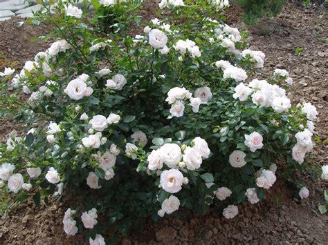 Amazon Patio by Aspirin Rose Rose Aspirin Rose Rose
