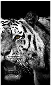 Weißer Tiger HD Wallpaper   Hintergrund   1920x1200   ID ...