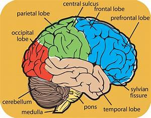 Diagram Of The Human Brain Parts 8   Biological Science