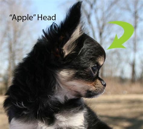 white applehead chihuahua applehead deer head chihuahuas