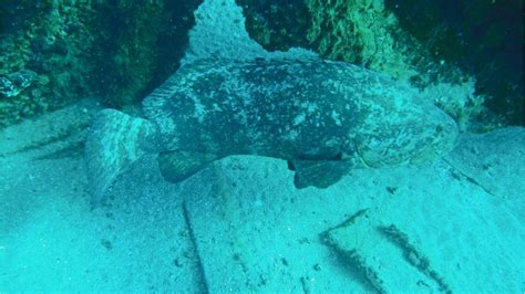 goliath grouper undersea guards waters killer ed could