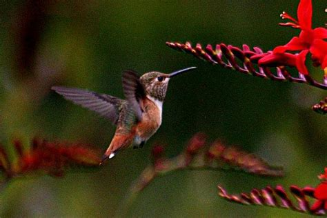 file hummingbird colibri jpg wikimedia commons