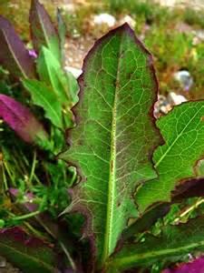 Purple Lettuce Plant