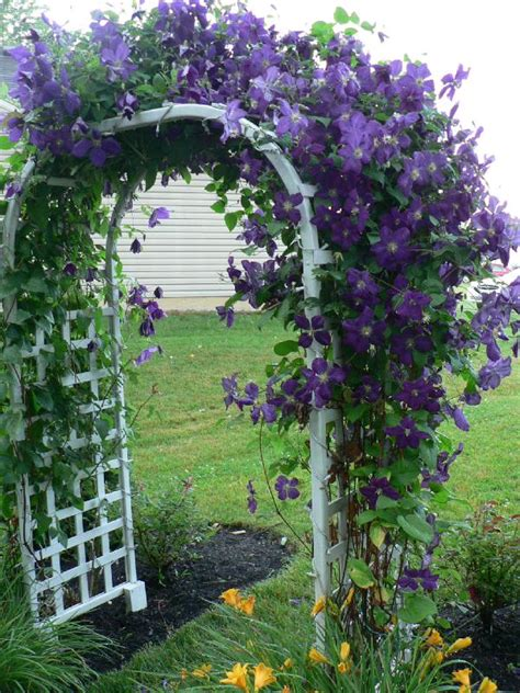 fast growing vines for pergola clematis on arbor