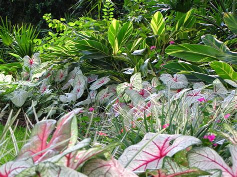 shady area plants brighten shady gardens with tropical plants