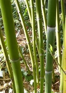 Wie Schnell Wächst Bambus : samen rarit ten gr ser und bambus ~ Frokenaadalensverden.com Haus und Dekorationen