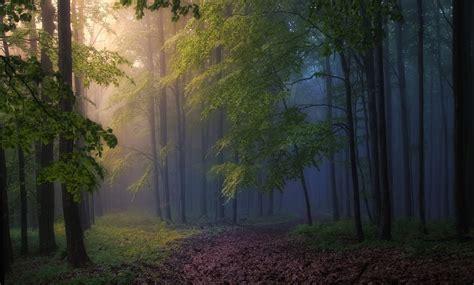 Morning Forest Mist Path Trees Sunbeams Sunlight