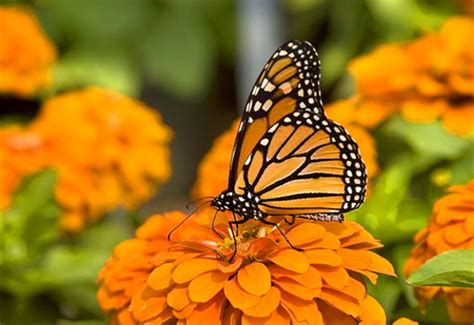 Background Home Screen Butterfly Wallpaper by Blending In Butterflies Animals Background Wallpapers