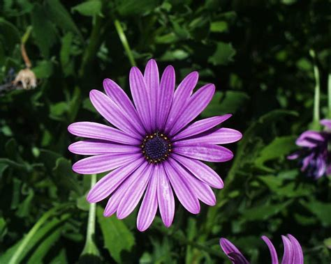 Screenshot, Review, Downloads Of Freeware Daisy Flower