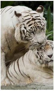 White Tiger HD Wallpaper   Background Image   1920x1200 ...