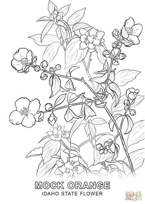 idaho-state-flower-coloring-page.jpg (1020×1440
