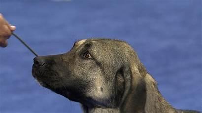 Shepherd Anatolian Working Dog National Nbcsports