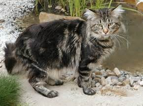 maine coon cat facts looks like a hobo kitty xd