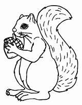 Coloring Acorn Squirrel Squirrels Drawing Printable Animal Sheets Secret Lemon Zoo Pumpkin Getdrawings Pattern Popular Coloringtop Gift sketch template