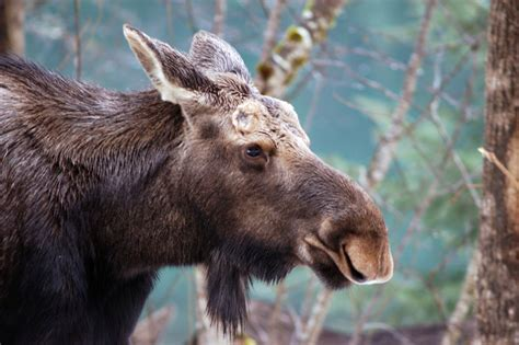 Fw Stands For by Moose Alces Alces Natureworks