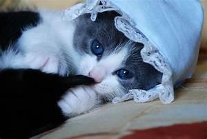 Blue face eyes cute cats kittens babies wallpaper ...