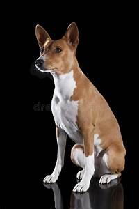 Basenji-dog On The Black Background Royalty Free Stock ...
