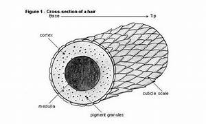 Hair Back To Basics How Is Hair Structured And What Is