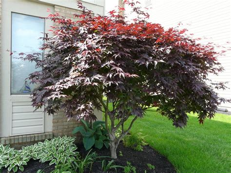 planting a japanese maple photo of the entire plant of japanese maple acer palmatum sherwood flame posted by cwhitt