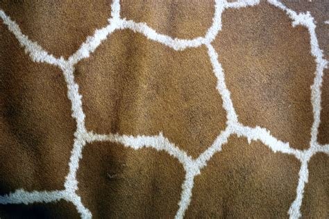 giraffe skin  stock photo public domain pictures