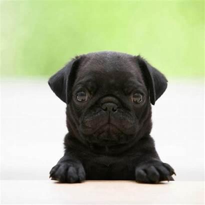 Pug Puppies Wallpapers Desktop Cave