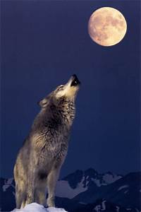 Gray Wolf Off Endangered Species List - Here There ...