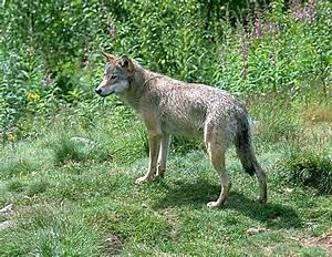 definition loup gris canis lupus futura planete With forum plan de maison 10 definition venus etoile du berger futura sciences