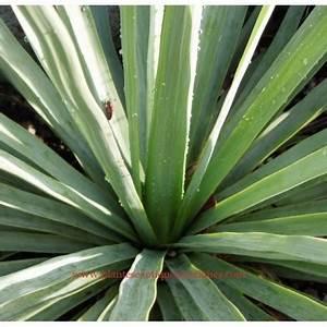 Plantes Exotiques Rustiques : nolina nelsonii plantes exotiques rustiques ~ Melissatoandfro.com Idées de Décoration