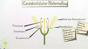 Aufbau Einer Blume : bl te aufbau und funktion biologie online lernen ~ Whattoseeinmadrid.com Haus und Dekorationen