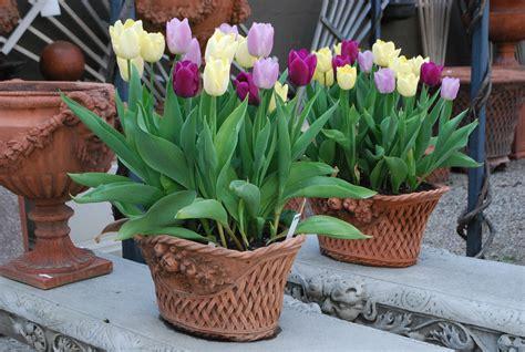 flowering bulbs in pots dirt simple
