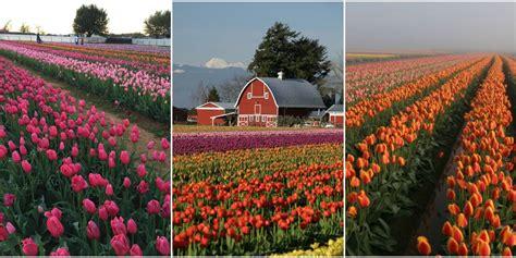 tulip farms in usa top 28 tulip farms in usa commercial tulip farm near la conner during anual tulip tulip