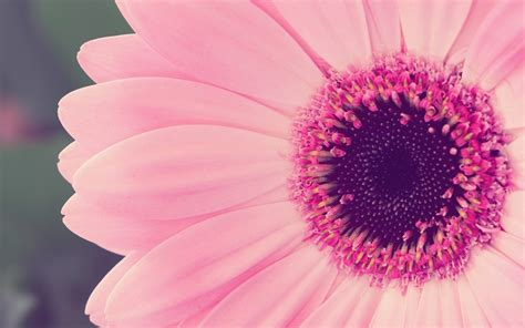 gerbera daisies canada floral delivery blog a few facts about gerbera daisies