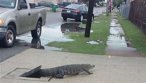 orleans residents shocked  discover alligator