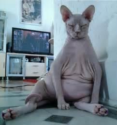 cat bald belly hairless cat