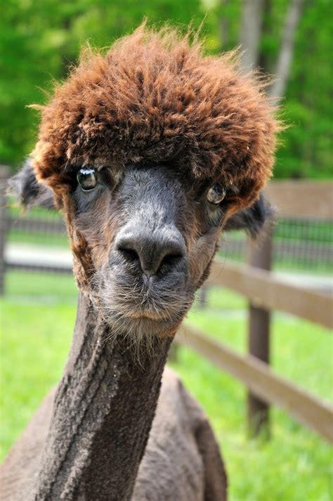 shaved alpacas   change