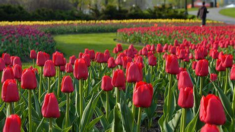 tulip season in usa canadian tulip festival ottawa tourism
