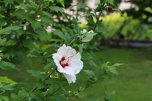 Hibiskus Pflege Zimmerpflanze : hibiskus pflege anleitung als garten und zimmerpflanze ~ A.2002-acura-tl-radio.info Haus und Dekorationen