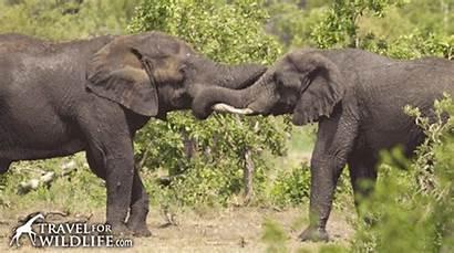Elephant Talk Elephants Bigger Than Yours Mine