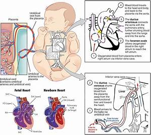 How Does Fetal Blood Circulation Differ From Circulation